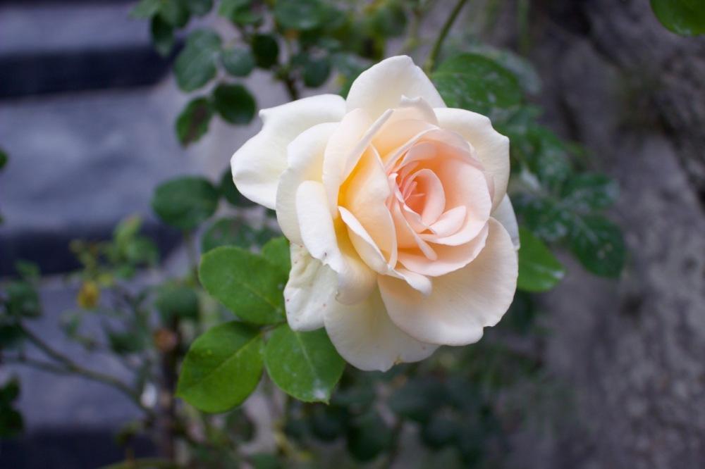 Rose Himachal Pradesh