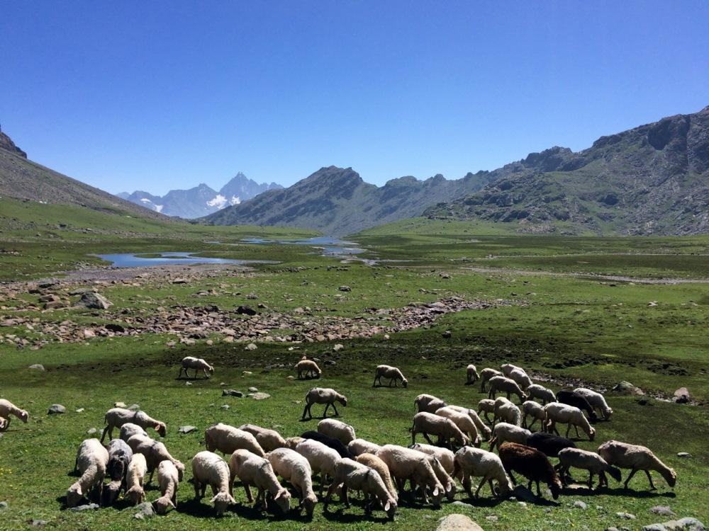 A flock of sheep grazes in the plentiful grasslands of Aru Valley