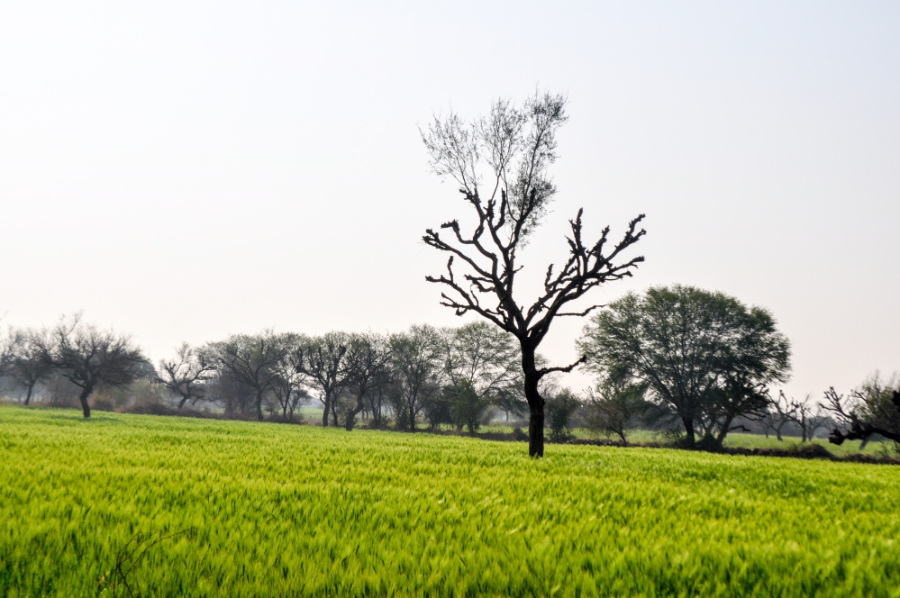 'Sarson ke khet', lush mustard fields in the desert