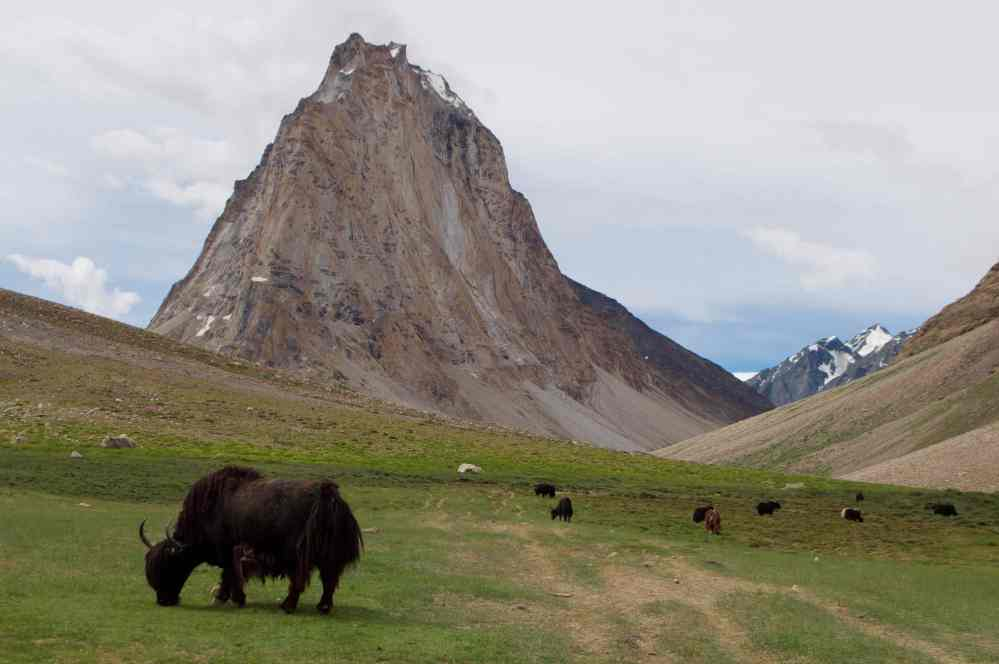 Yaks graze under the Gumboranjan peak, sacred to the Zanskaris