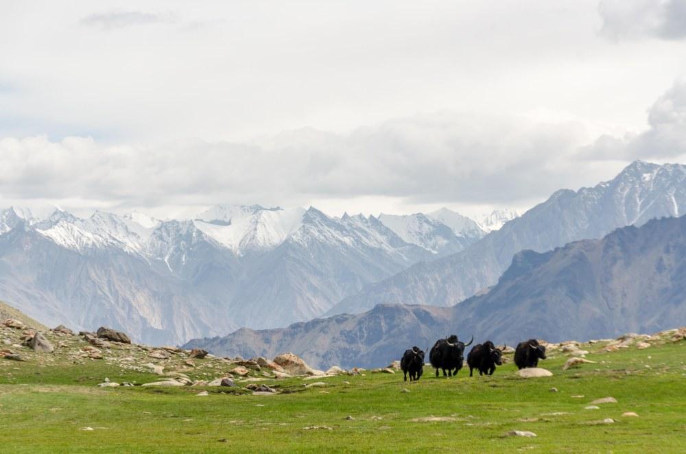 Yaks Ladakh